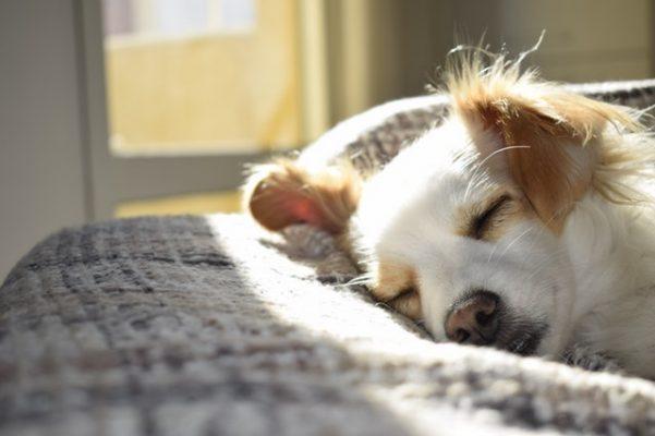 rugpijn bij honden